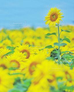 黄色い花の写真・画像素材[2353894]