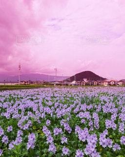 大きな紫色の花が野原にあるの写真・画像素材[2382777]