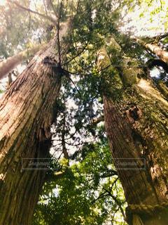 大きな木の写真・画像素材[2354146]