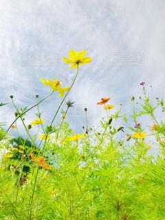 野原の黄色い花の写真・画像素材[2404289]