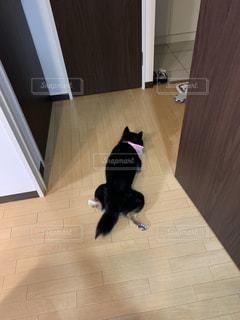 タイルの床に立つ黒柴犬の写真・画像素材[2355800]