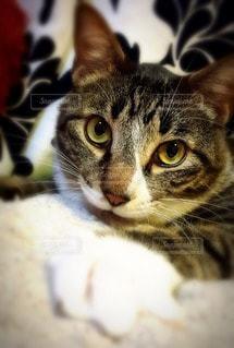 猫の写真・画像素材[91247]