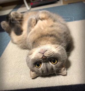 横になってカメラを見ている猫の写真・画像素材[2357837]