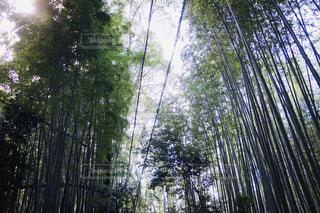 嵐山の竹林の写真・画像素材[2362259]
