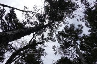 森の中の大きな木の写真・画像素材[2360686]