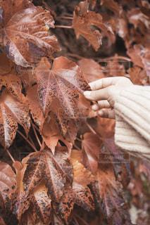 紅葉と女性の手の写真・画像素材[2714954]
