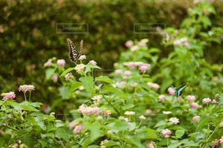 キアゲハとアオスジアゲハの写真・画像素材[2362080]