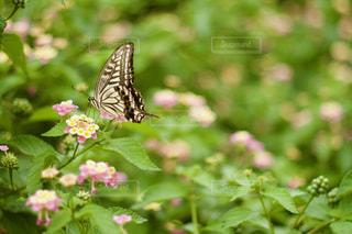 キアゲハの写真・画像素材[2362081]