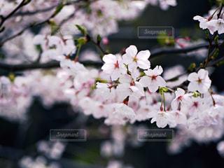 桜の写真・画像素材[1584917]