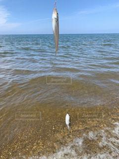 海釣りでキス&フグの写真・画像素材[2370921]