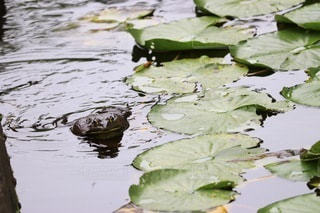 水草とアマガエルの写真・画像素材[2396571]