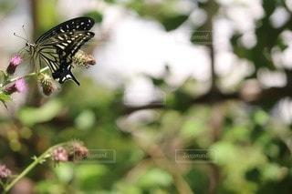 アゲハチョウの写真・画像素材[2485202]