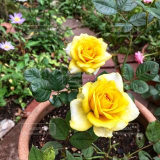 色鮮やかな黄色のミニバラの写真・画像素材[2371300]