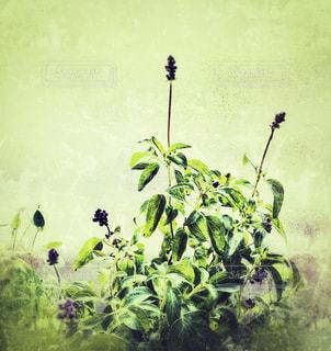 ブルーサルビアの花の写真・画像素材[2372834]
