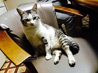 椅子に座っている猫の写真・画像素材[2426077]