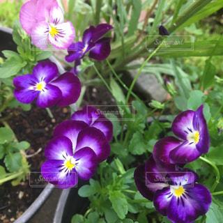 紫の虹色パンジーのクローズアップの写真・画像素材[2433993]