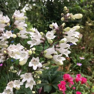 白い花のクローズアップの写真・画像素材[2434068]
