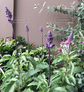 紫色の花の写真・画像素材[2434070]