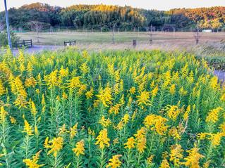 野原の黄色い花の写真・画像素材[2695786]