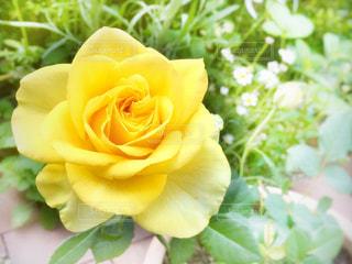 黄色いバラの写真・画像素材[2798563]