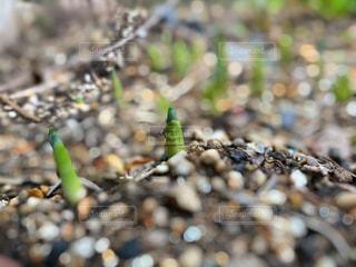 スイセンの新芽の写真・画像素材[2846115]