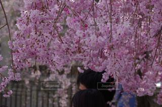 植物のピンクの花の写真・画像素材[2368196]