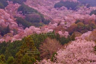 千本桜の写真・画像素材[2368197]