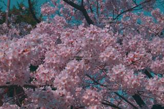 青の中の桜の写真・画像素材[2368198]