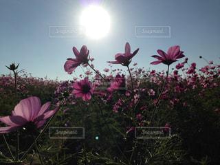 コスモス畑の写真・画像素材[2374512]