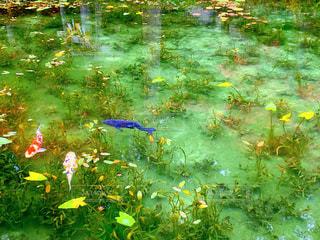 モネの池の写真・画像素材[2377000]