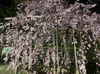 夜桜の写真・画像素材[2382455]