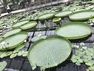 蓮のお池の写真・画像素材[2397776]