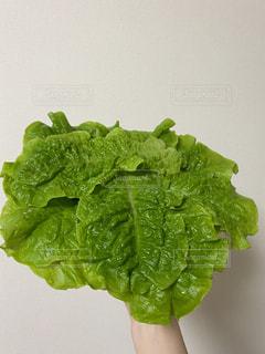 たくさんのチシャ菜の写真・画像素材[3062797]