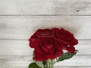 薔薇のクローズアップの写真・画像素材[3549752]