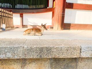 東大寺にいた小鹿ちゃん  2020年0927の写真・画像素材[3724747]