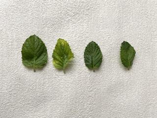 緑の葉のペアの写真・画像素材[3957355]
