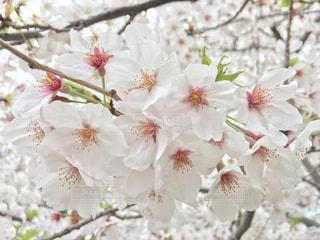 春の写真・画像素材[430124]