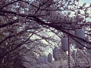 桜と提灯の写真・画像素材[2372140]