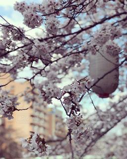 桜と提灯の写真・画像素材[2372141]