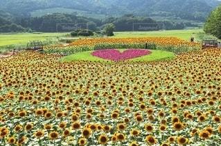 新潟市のひまわり畑の写真・画像素材[2374229]