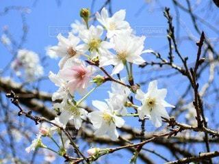 四季桜のクローズアップの写真・画像素材[2583554]