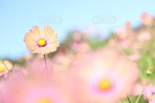 優しい秋へ誘うコスモスの写真・画像素材[2429567]
