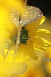 向日葵のクローズアップの写真・画像素材[3752595]