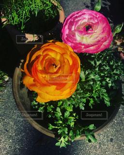 植物のピンクの花の写真・画像素材[2374989]