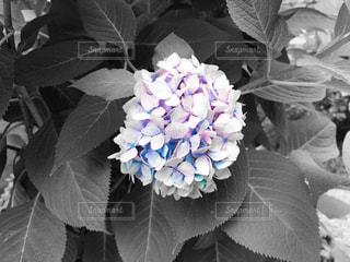 白色に青色が混じった紫陽花の写真・画像素材[2375237]