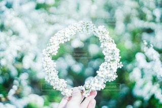 雪柳の冠の写真・画像素材[2896861]