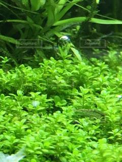水草と気泡とエビの写真・画像素材[2377069]