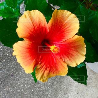 植物のカラフルな花の写真・画像素材[2438304]