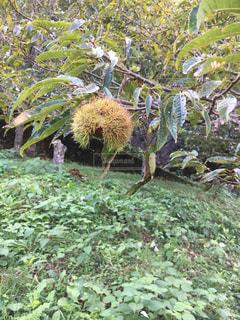 木になった栗の写真・画像素材[2502328]