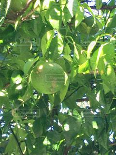 木からぶら下がる柚子の写真・画像素材[2502329]